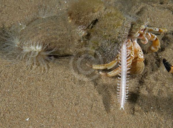 ragworm and hermit crab relationship